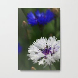 White cornflower Metal Print