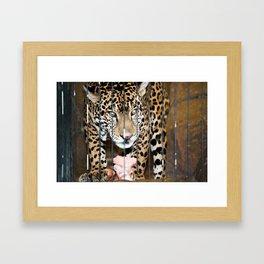 Leopard Feeding Framed Art Print