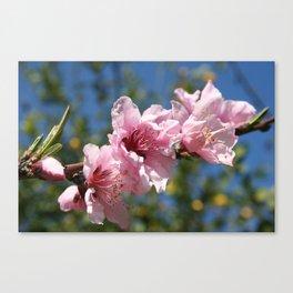 Close Up Peach Tree Blossom Against Blue Sky Canvas Print