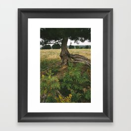 Pine tree (Pinus sylvestris) with an exposed and twisted trunk. Norfolk, UK. Framed Art Print