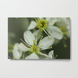 Apple blossom at spring Metal Print