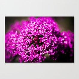 Pink Valerian Canvas Print
