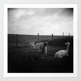 Alpaca/llama paddock Art Print