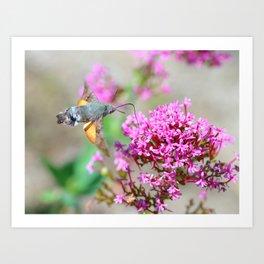 Hummingbird Hawk-moth on Valerian flower Art Print