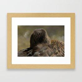 Mallard resting in its feathers Framed Art Print