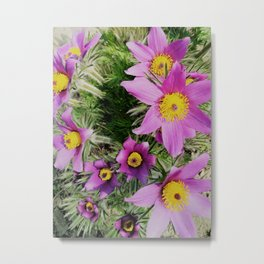 pasque-flower Metal Print