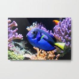 Blue Hippo Tang Metal Print