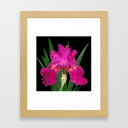 Iris 'Picante' on black Framed Art Print