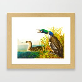 Great Norther Diver or Loon John James Audubon Scientific Birds Of America Illustration Framed Art Print