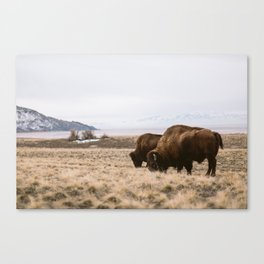 Bison sharing the feed Canvas Print