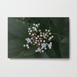 Viburnum tinus buds and flowers Metal Print