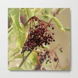 Elderberries Metal Print