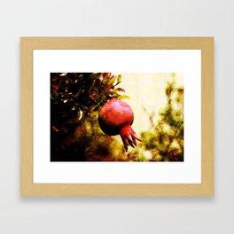 Pomegranate fruit growing on its branch Framed Art Print