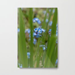 Belgian forget-me-nots (nature photography - fine art print) Metal Print
