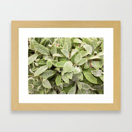 Lambs ear after rain Framed Art Print