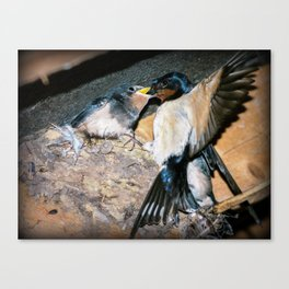 Swallow feeds chick. Canvas Print