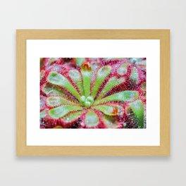 Drosera Framed Art Print