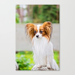 Portrait of a papillon purebreed dog with grass behind Canvas Print