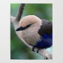 Blue Bellied Roller Poster