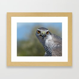 Northern Goshawk Close Framed Art Print