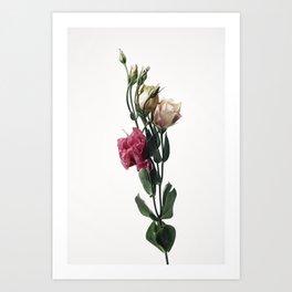 Fine Art style Lisianthus Flower against white Art Print