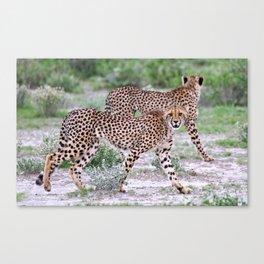 Young cheetahs, Namibia wildlife Canvas Print