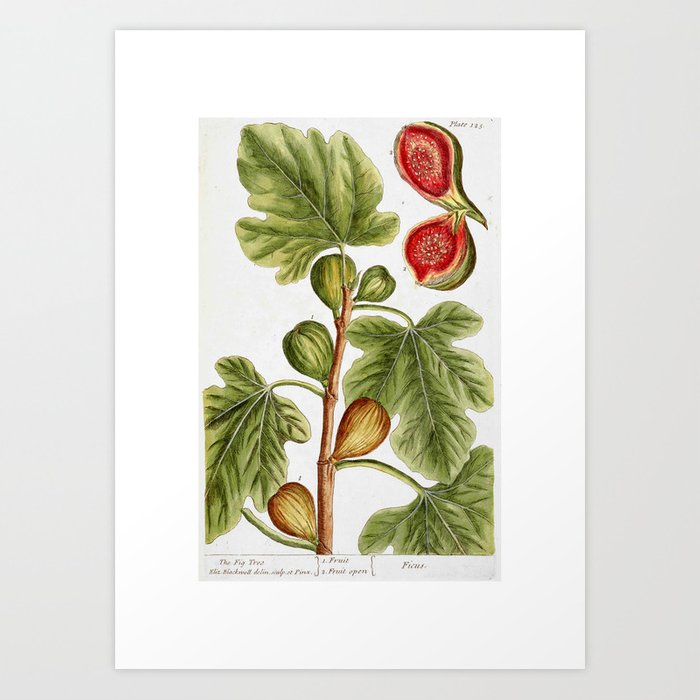 """Fig by Elizabeth Blackwell from """"A Curious Herbal,"""" 1737 (print benefits The Nature Conservancy) Art Print"""