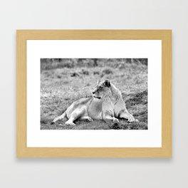Lion resting in the grass Framed Art Print