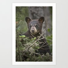 Black Bear Cub peeking over Pine Branches Art Print