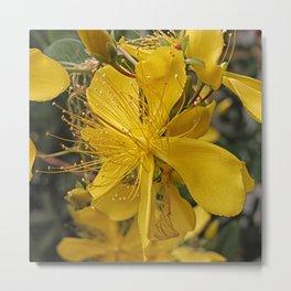 Hypericum flower closeup Metal Print
