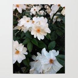White wild roses Poster