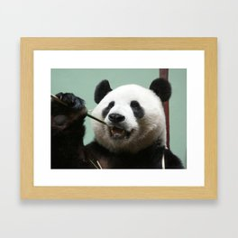 Yang Guang, giant Panda at Edinburgh Zoo Framed Art Print