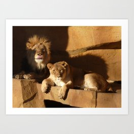 Majestic lions bathed in the deep shadows and golden light of a late afternoon Art Print