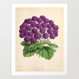 Double Cineraria Original hand-coloured print drawn and lithographed by Fitch Art Print