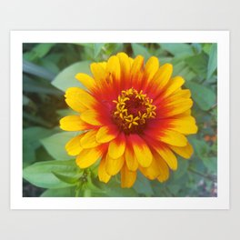 Zinnia on fire Art Print