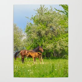 Foal Horse Baby Poster