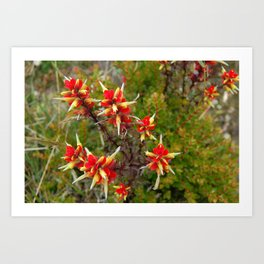 Bright Red Flowers on Top of Irazú Volcano, Costa Rica Art Print