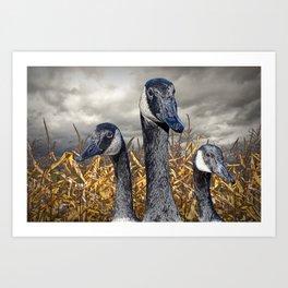 Three Canada Geese in an Autumn Cornfield Art Print