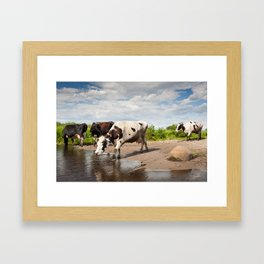 Herd of cows walking across puddle Framed Art Print