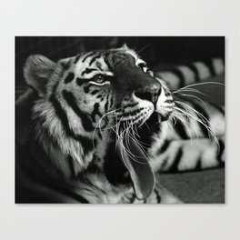 Sleepy Tiger Canvas Print