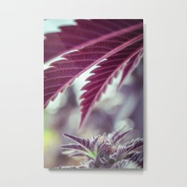Covered in Cannabis marijuana plant weed photograph Metal Print