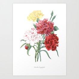 HIGHEST QUALITY botanical poster of Carnation Art Print