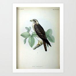 Buteo pyrrhogenys Art Print