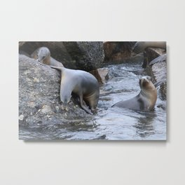 California Sea Lions in Monterey Bay Metal Print