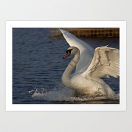 Swan landing  Art Print