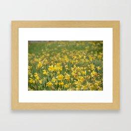 A field of Daffodils Framed Art Print