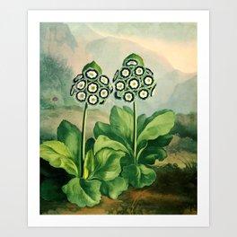 Auriculas : Temple of Flora Art Print