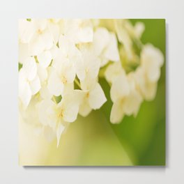 White Hydrangea On A Green Background #decor #buyart #society6 Metal Print
