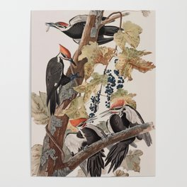 John James Audubon -Woodpecker Poster