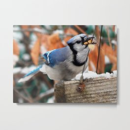 Greedy Jay! Metal Print